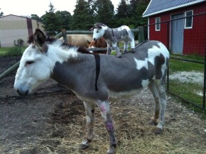 donkey and clone